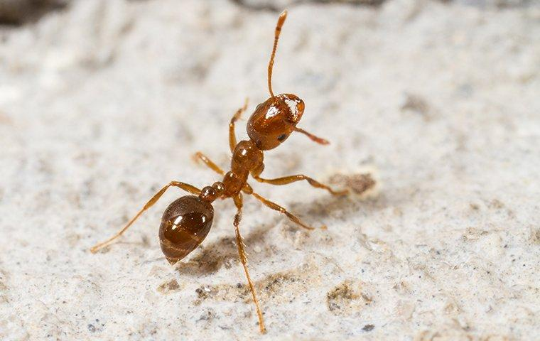 a fire ant crawling on the ground outside of a home