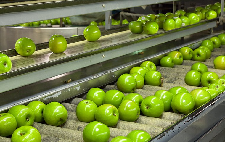 a conveyor belt with apples in a food processing plant
