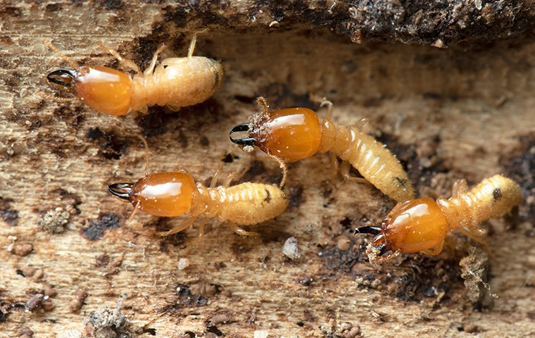several termites eating a piece of structural wood inside of a home
