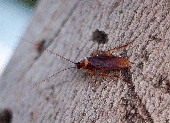 american roach on wood