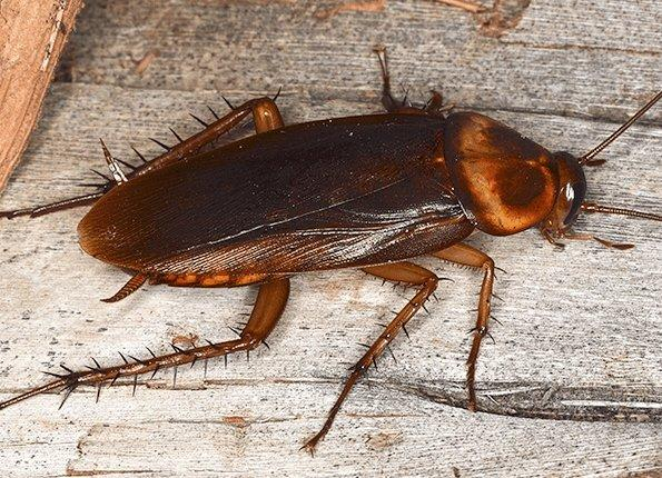 american cockroach in home