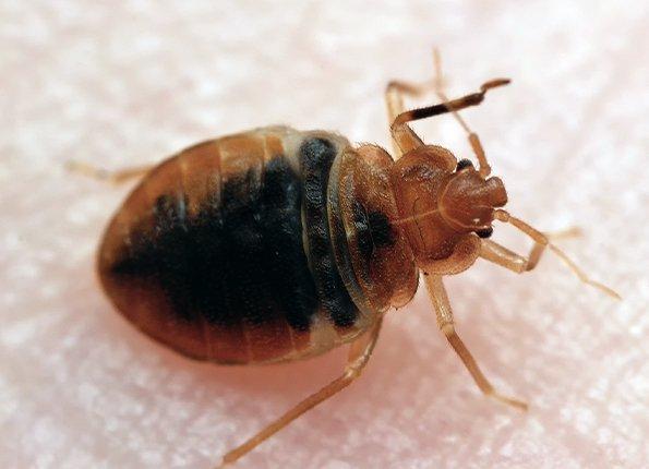 bed bug crawling on skin