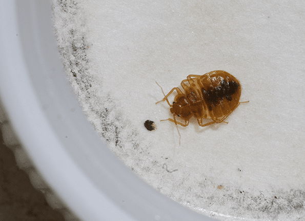 bed bug caught in monitoring station