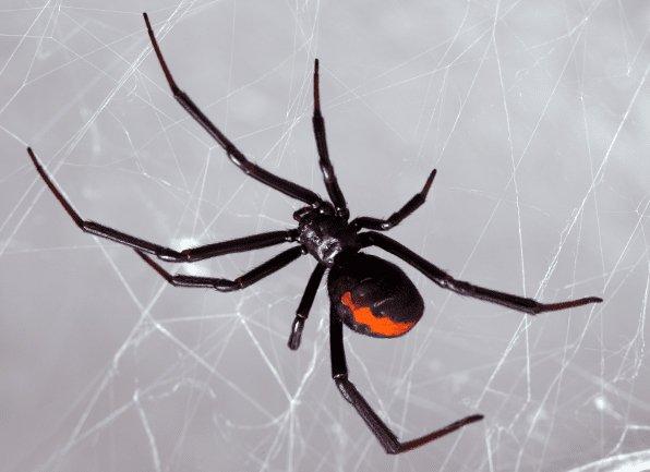 a black widow spider in web