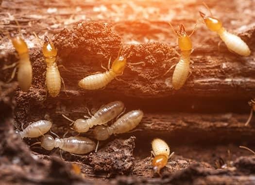 swarming termites destroying wooden structures