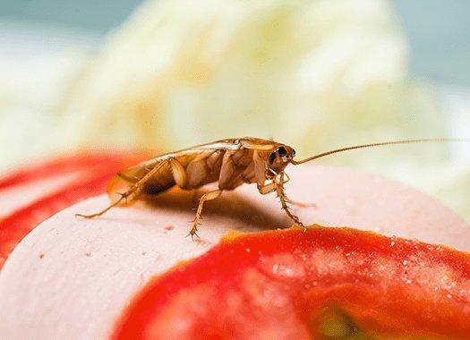 american cockroach on a sandwich