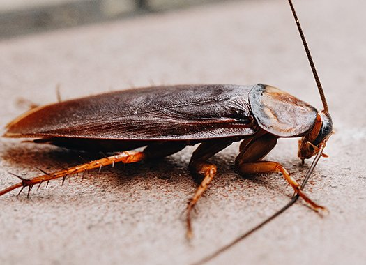an american cockroach crawling on the floor