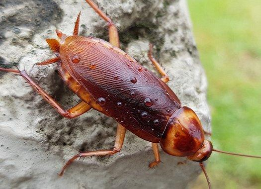 american cockroach on table