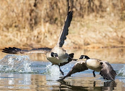 a couple of angry geese fighting in flight over an evensville pond
