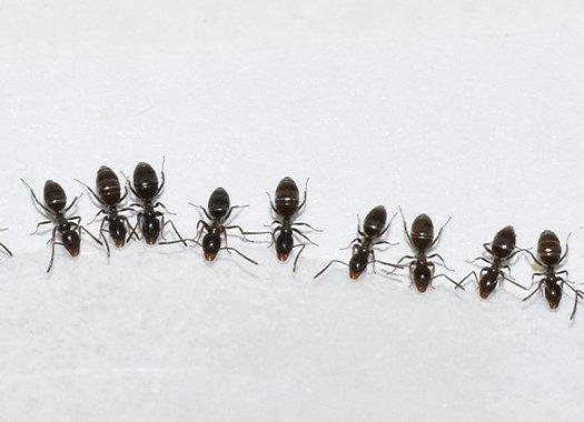 ants in a line in a kitchen