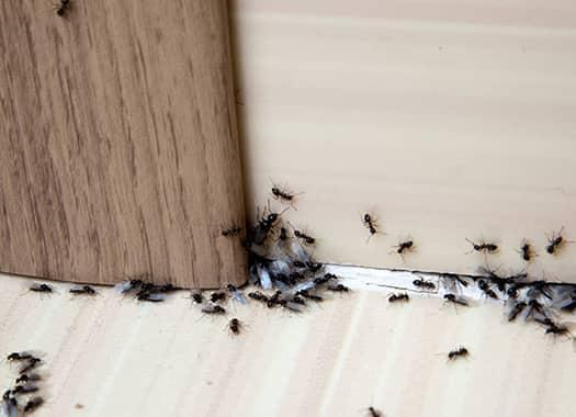 a growing colony of ants entering the home of a louisville residence trhough any cracks they can find
