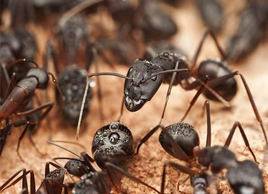 a large colony of black carpenter ants infesting a terre haute property