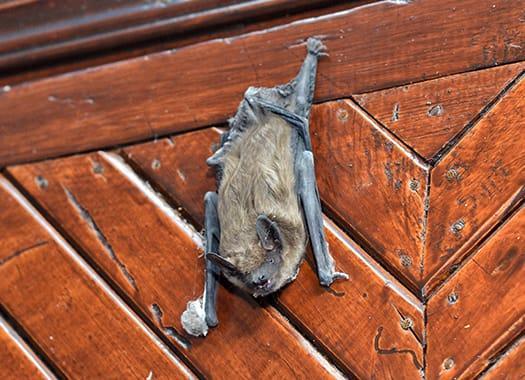 bat on wall on wall in kentucky