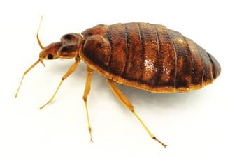 the bed bug