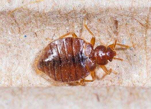 a bed bug crawling on a mattress frame