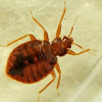 bed bug up close on an indianapolis bed