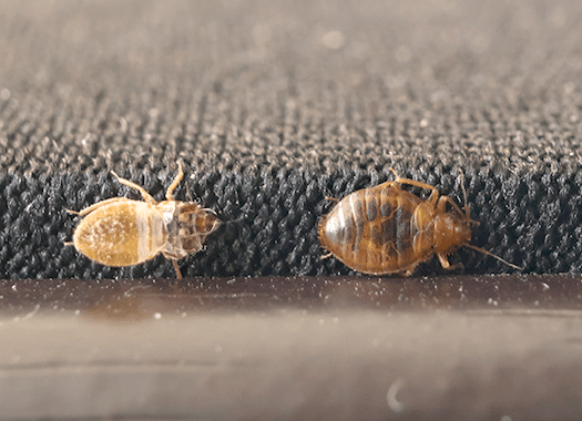 bed bug and shed skin