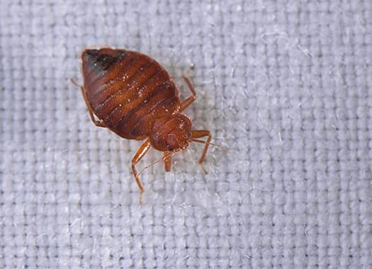 a bed bug infestation in a louisville kentucky home
