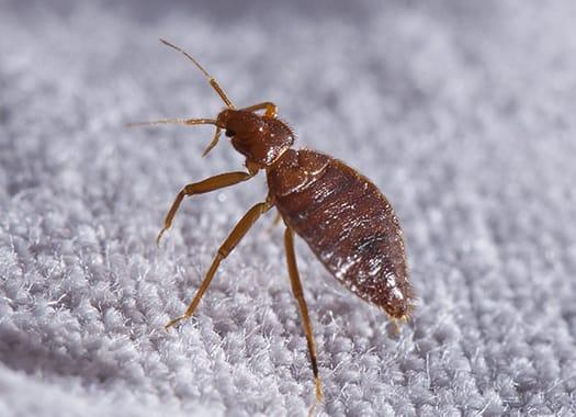 a bed bug infestation in a terre haute indianna home