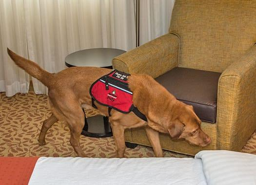 a trained k 9 inspecting a louisville hotel room for bed bugs