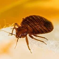 bed bug crawling on bed in terre haute