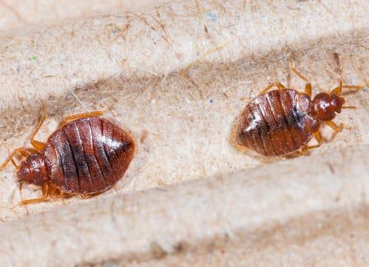 two bed bugs on bed