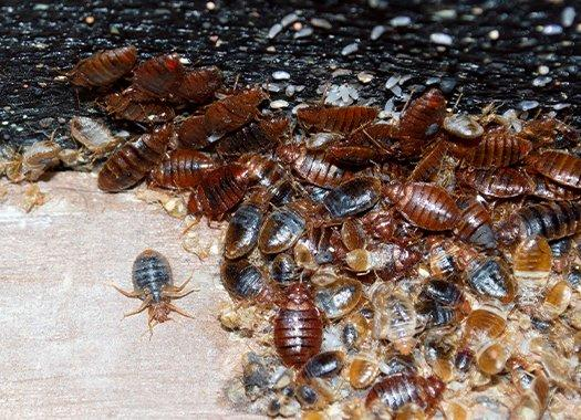 bed bugs infesting furniture