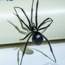 black widow spider crawling on pvc pipe