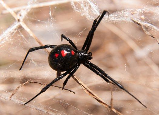 black widow spider crawling in home
