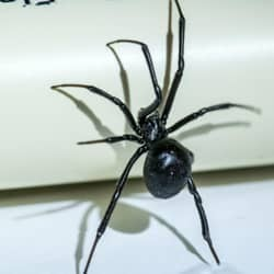 black widow spider climbing on pvc pipe