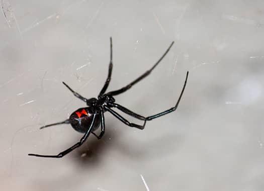 black widow spider on a web