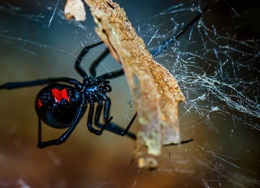 a dangerous black widow spider crawling along the exterior of a louisville home in the dark of night