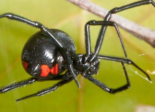 a black widow spider in grass