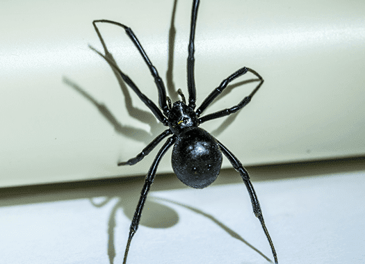 black widow spider in jasper home