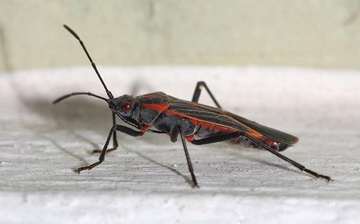 a boxelder bug on a wooden trim