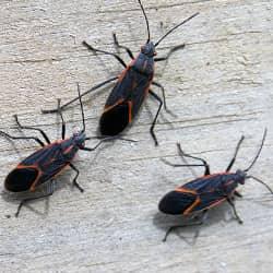 boxelder bugs looking for winter shelter