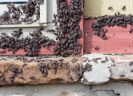 boxelder bugs around a window