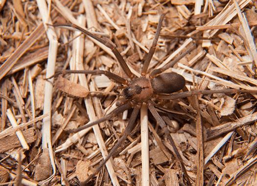 brown recluse spider near terre haute home