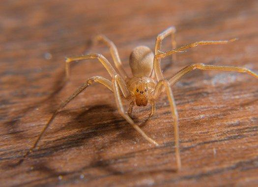 a brown recluse spider inside of a home