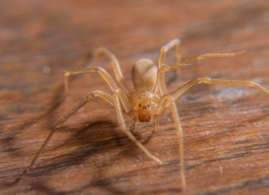 a brown recluse spider on wood