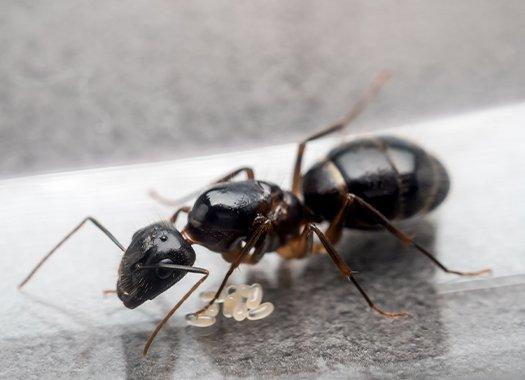 carpenter ants in a house
