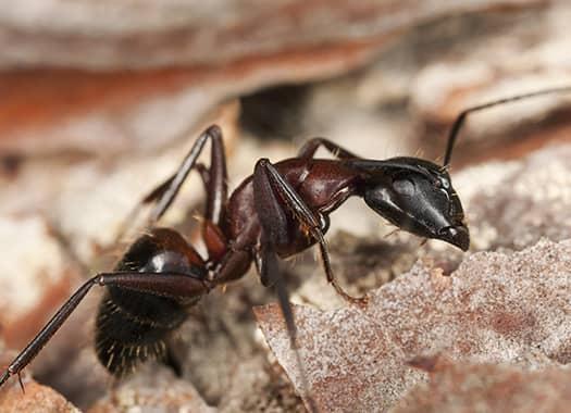 carpenter ants eating