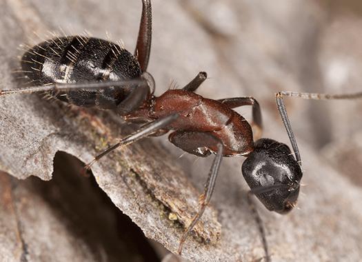 carpenter ant on bark