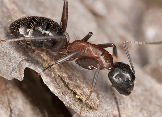carpenter ant on bark