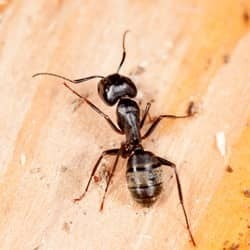 carpenter ant found in owensboro home