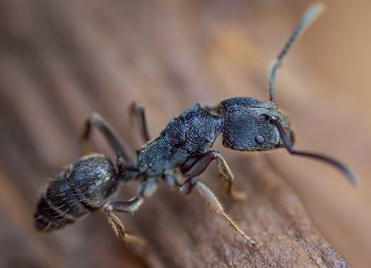 carpenter ant damaging wood in terre haute