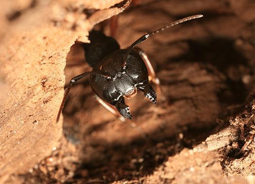 carpenter ant damaged wood in louisville