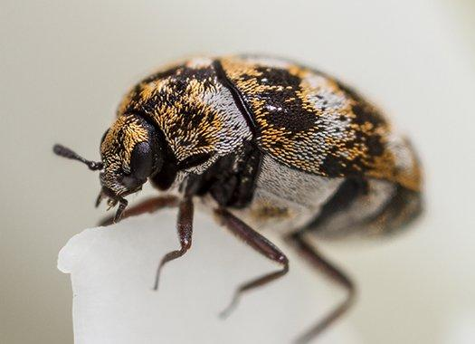 a carpet beetle on fabric