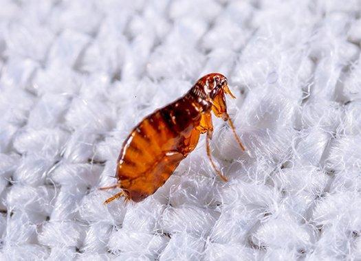 a cat flea on fabric