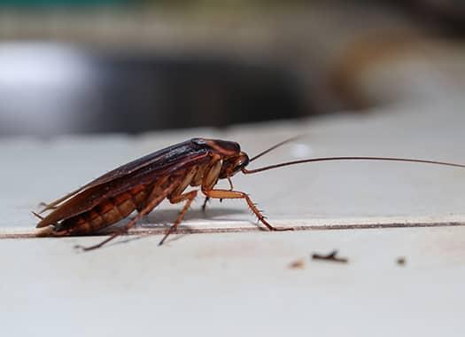 an american cockroach crawling across an elizabethtown kentucky kitchen counter top during late summer season